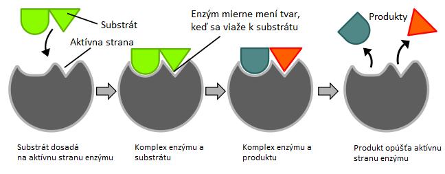 Viazanie enzýmu